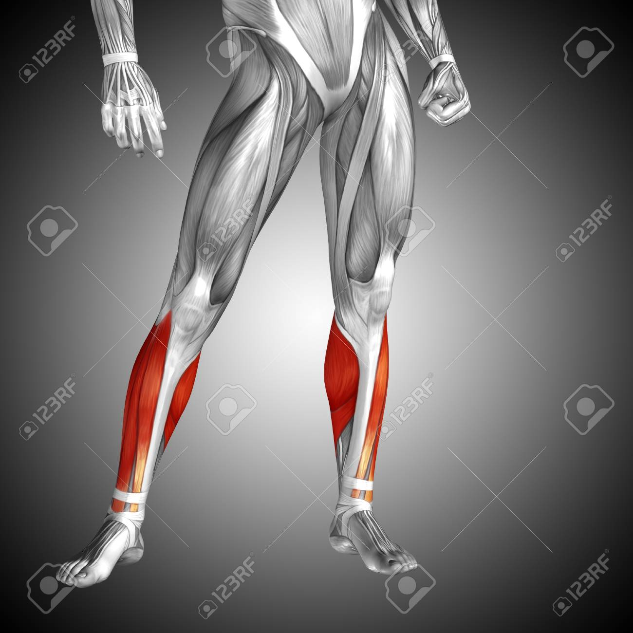 Conceptual 3d Human Front Lower Leg Muscle Anatomy On Gray
