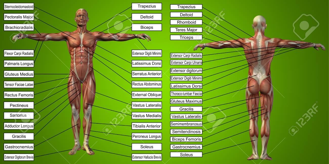 Vektor 3D Mann Muskel Anatomie Mit Text Auf Grünem Hintergrund ...