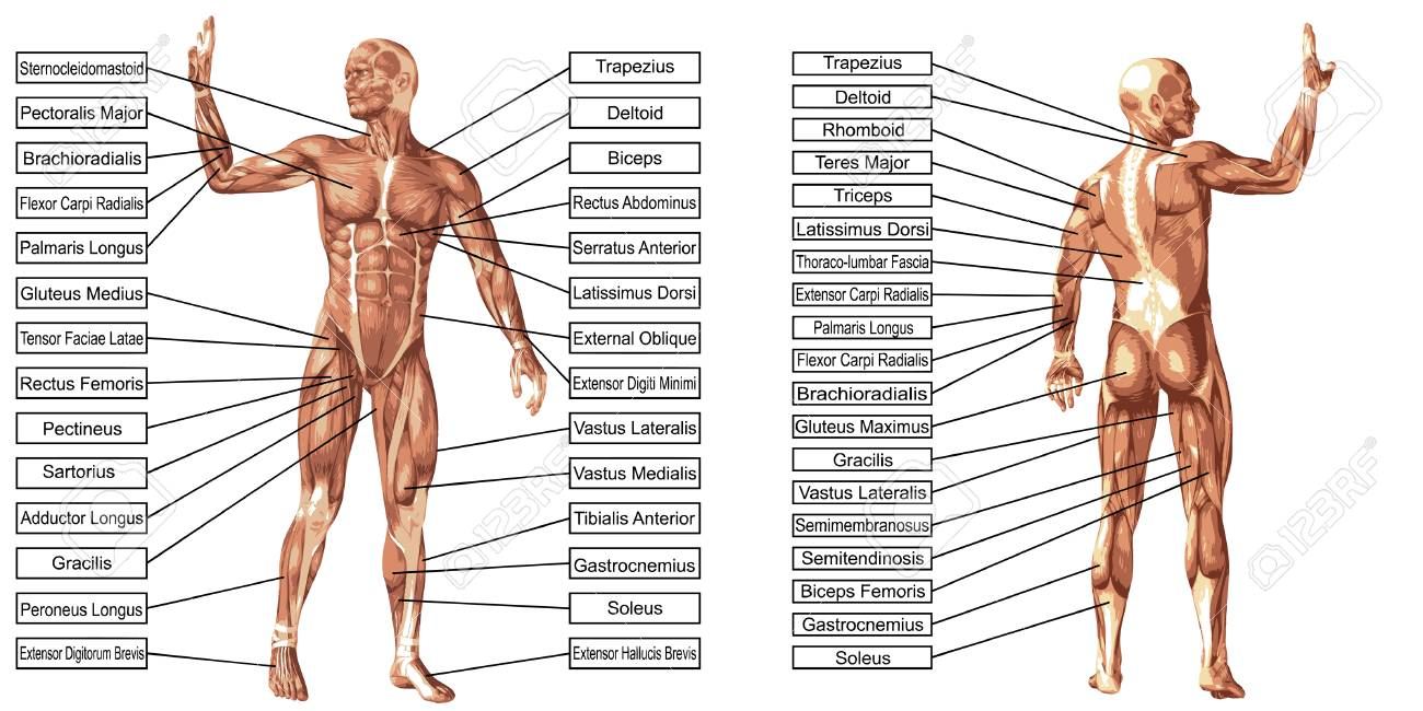 Vector 3D Mann Muskel Anatomie Mit Text Isoliert Auf Weißem ...