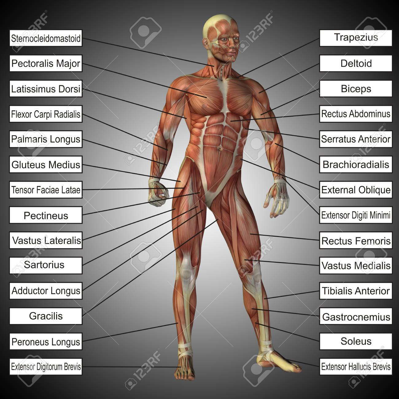 3d Human Male Anatomy With Muscles And Text On Gray Background Stock