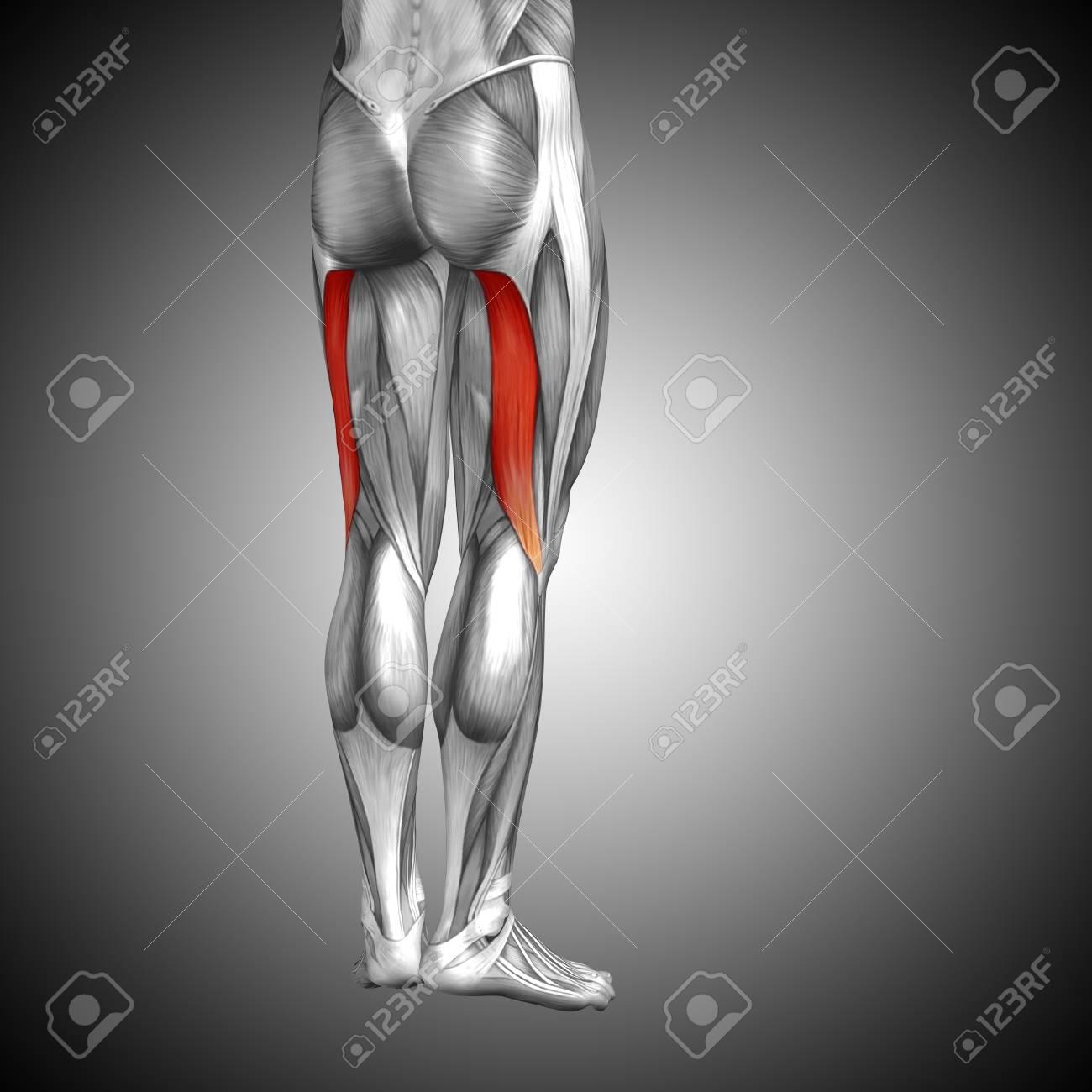 Fein 3d Muskelanatomie Bilder - Anatomie Von Menschlichen ...
