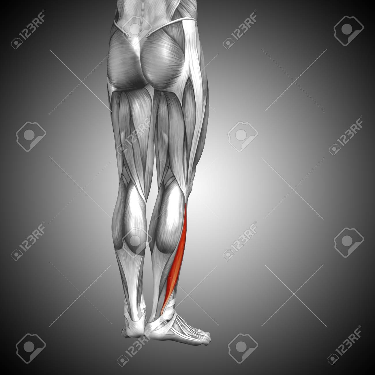 Conceptual 3D Human Back Lower Leg Muscle Anatomy On Gray Background ...