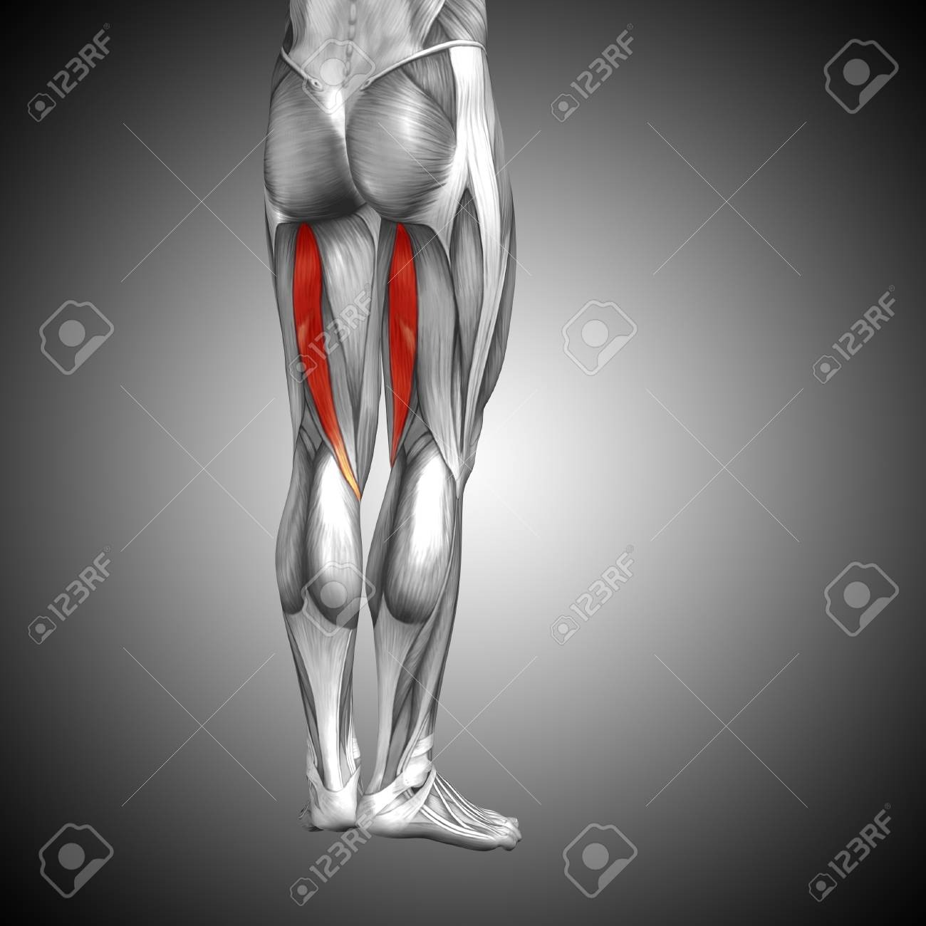 Conceptual 3D Human Back Upper Leg Muscle Anatomy On Gray Background ...