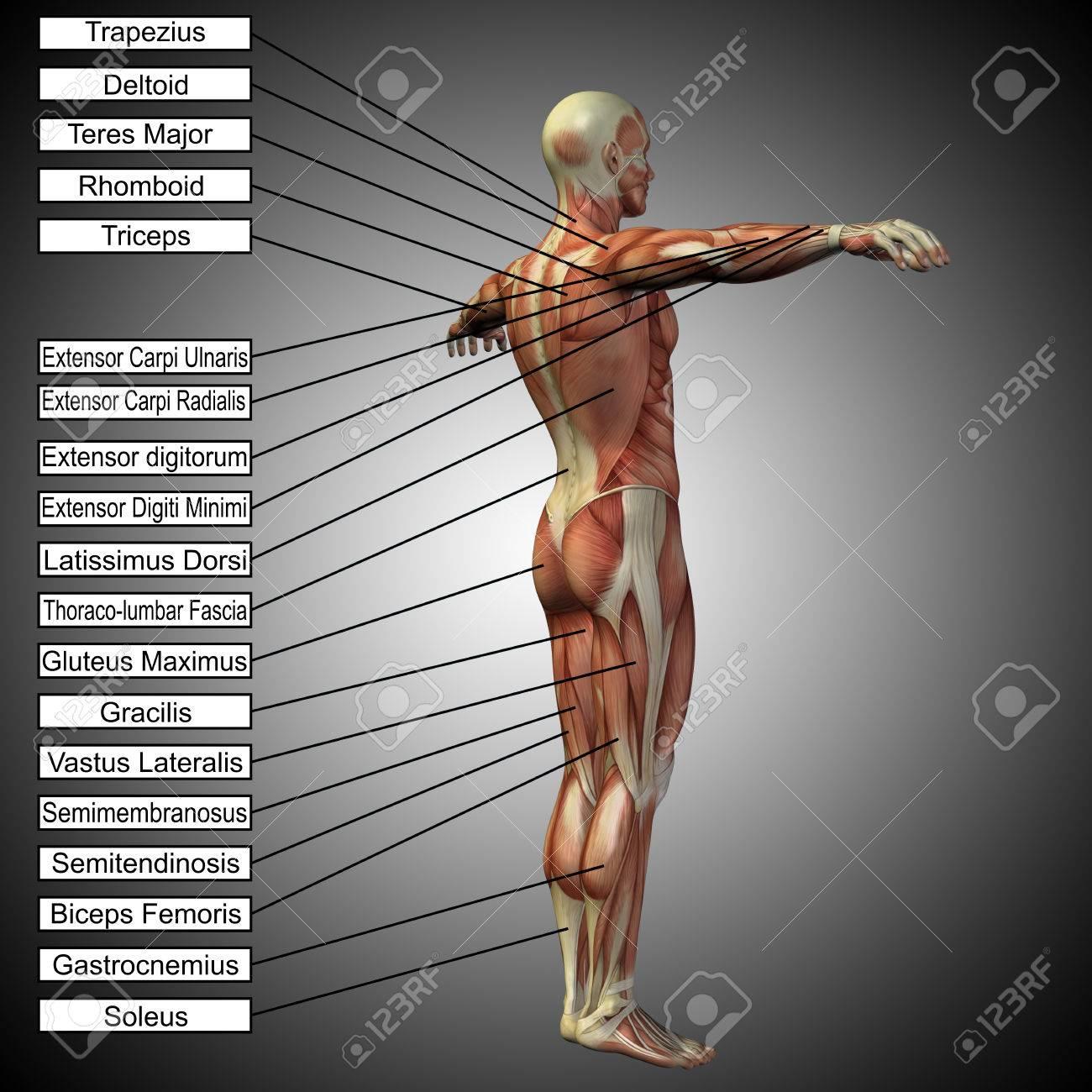 3D, Humano, Macho, Anatomía, Músculos, Texto, Gris, Plano De Fondo ...