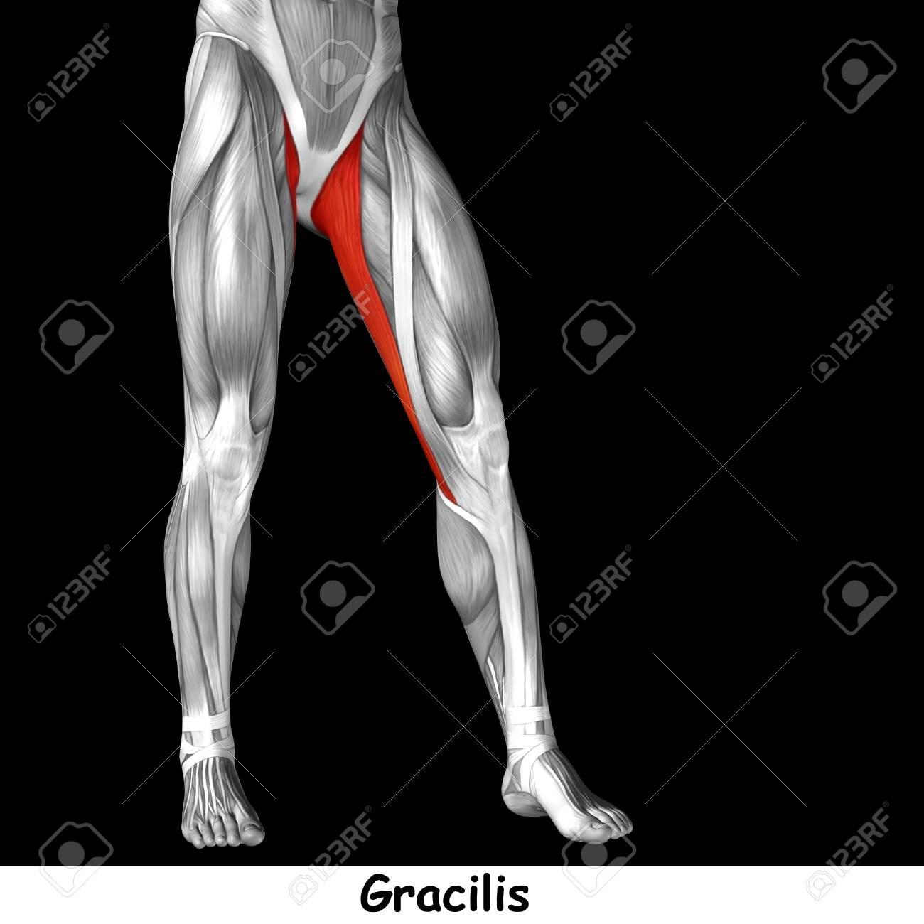 Increíble Gracilis Anatomía Muscular Cresta - Imágenes de Anatomía ...