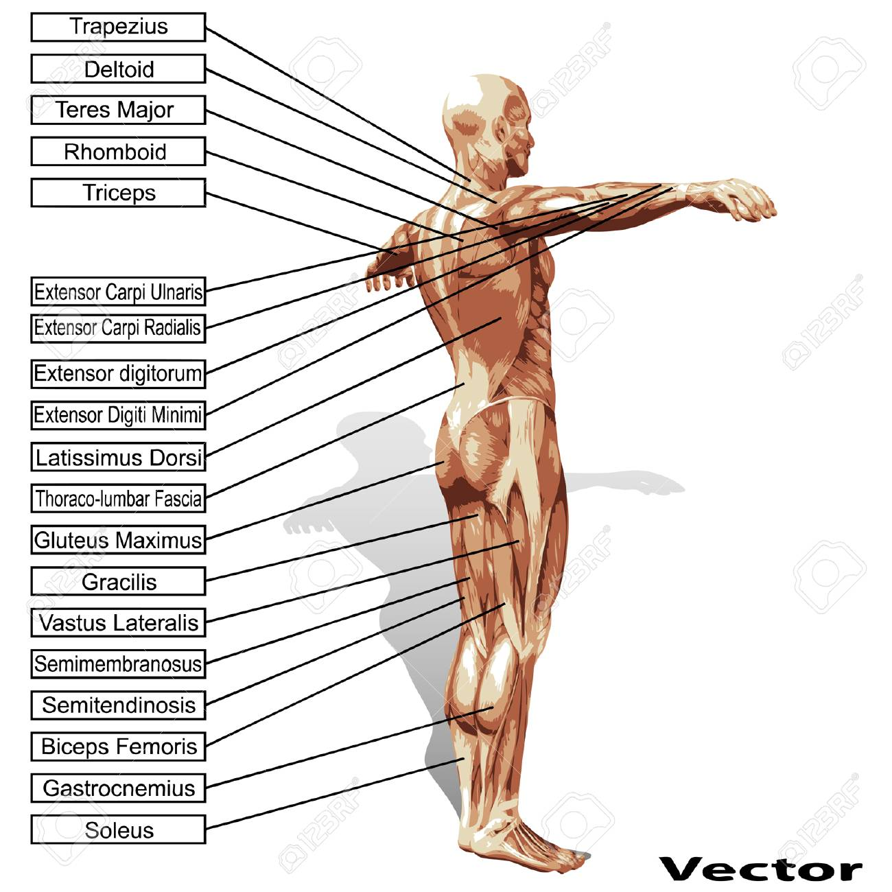 3D Human Male Anatomy With Muscles And Text Isolated On White ...