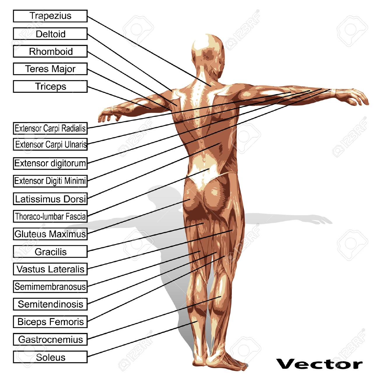 Vector High Resolution Concept Or Conceptual 3D Human Anatomy ...