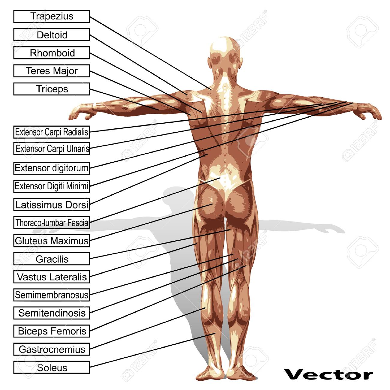Vector High Resolution Concept Or Conceptual 3D Human Anatomy ...