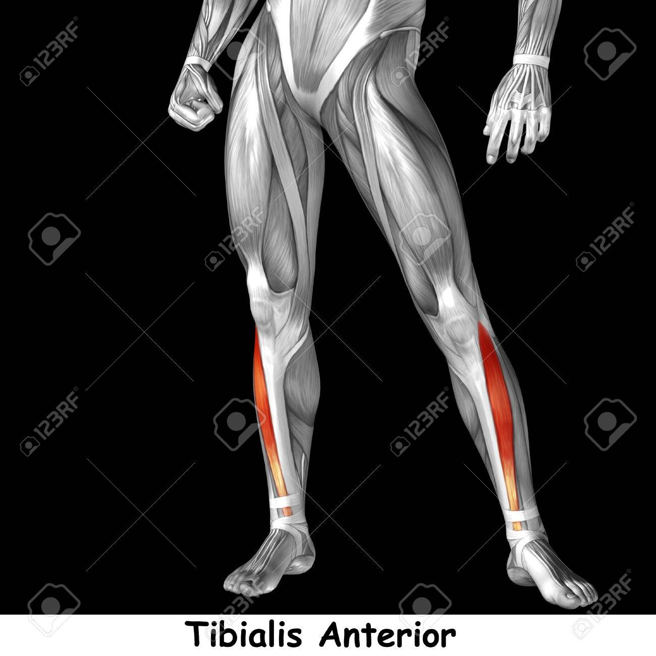 Conceptual 3d Human Front Lower Leg Muscle Anatomy Isolated On Black