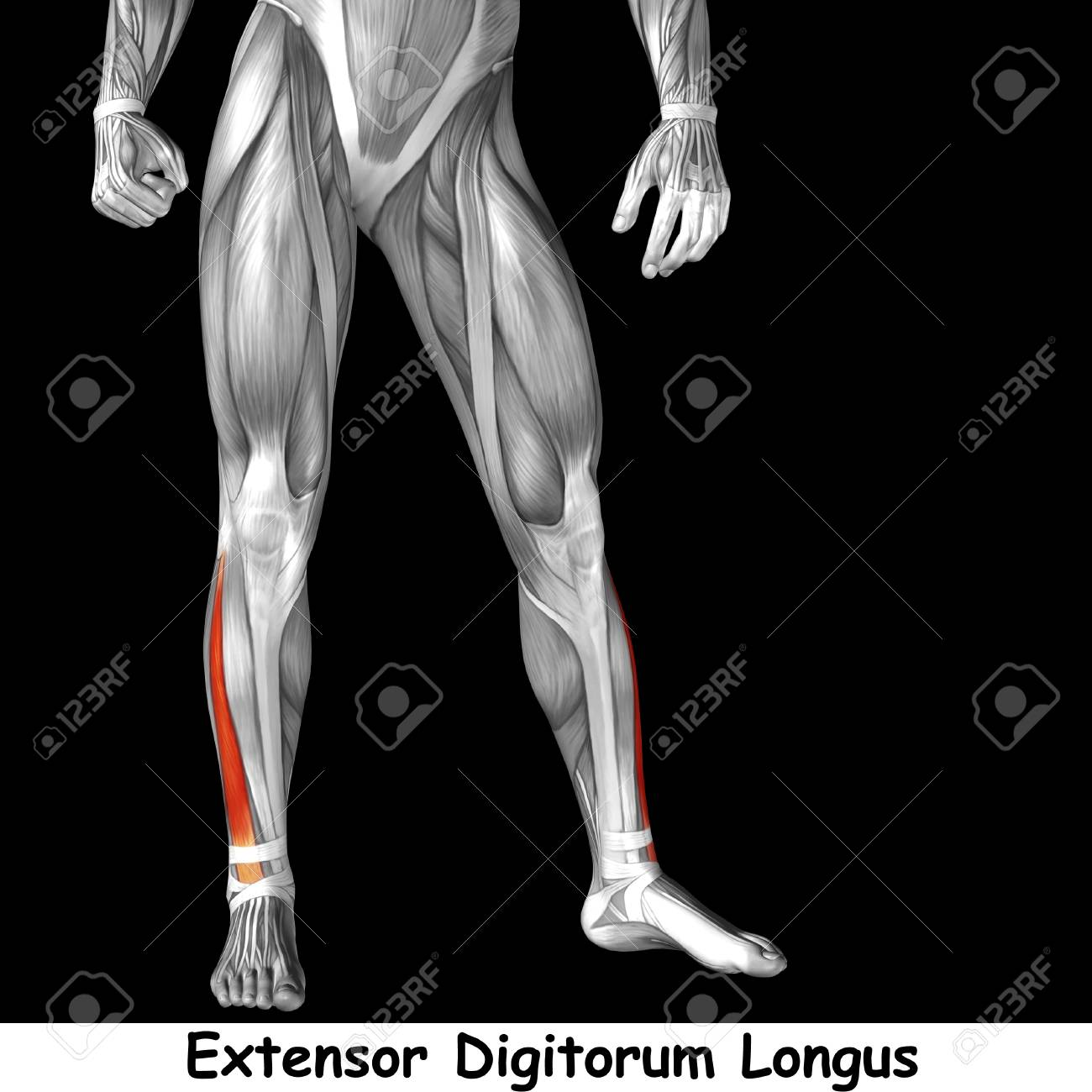 Conceptual 3D Human Front Lower Leg Muscle Anatomy Isolated On ...