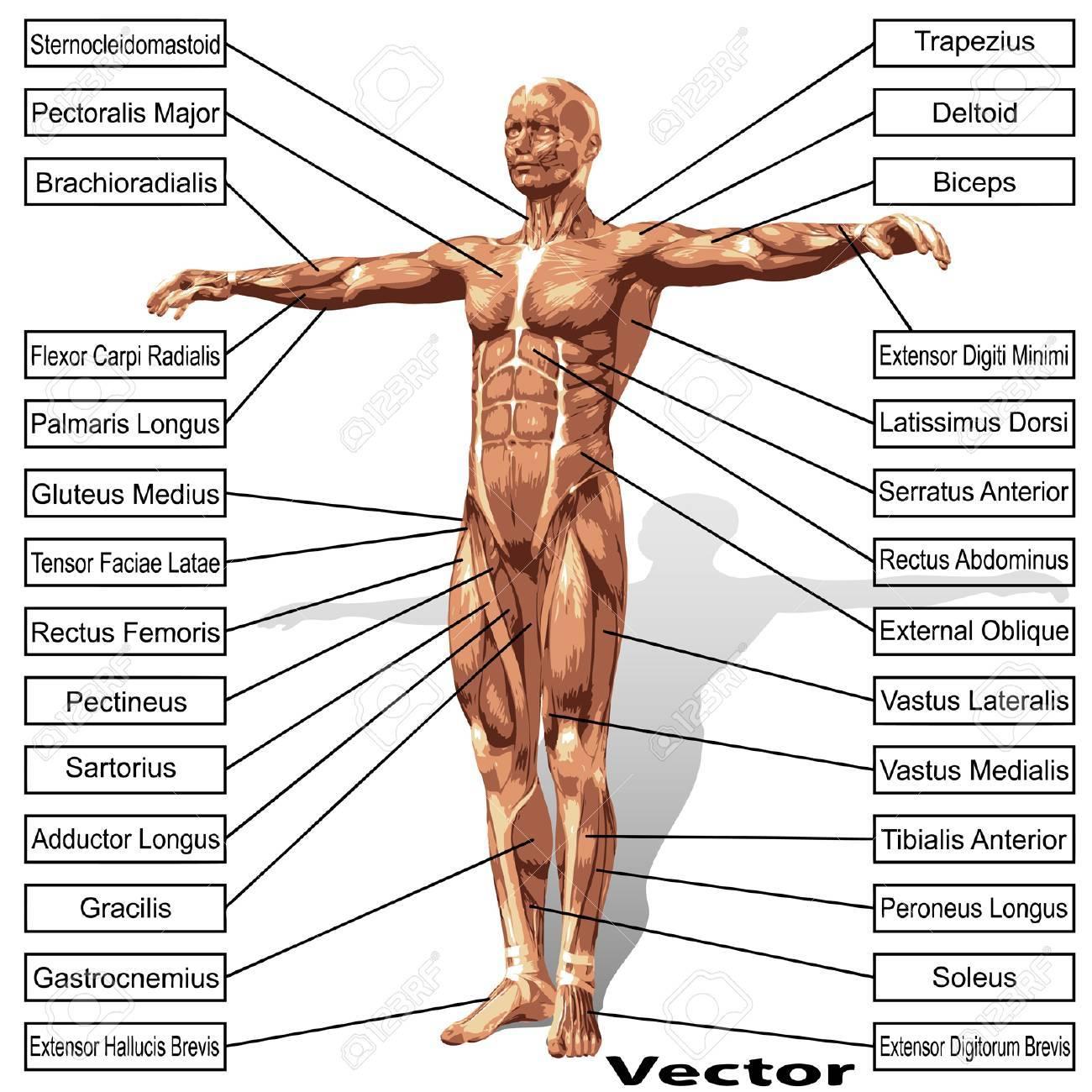 3D Menschliche Männliche Anatomie Mit Muskeln Und Text Isoliert Auf ...