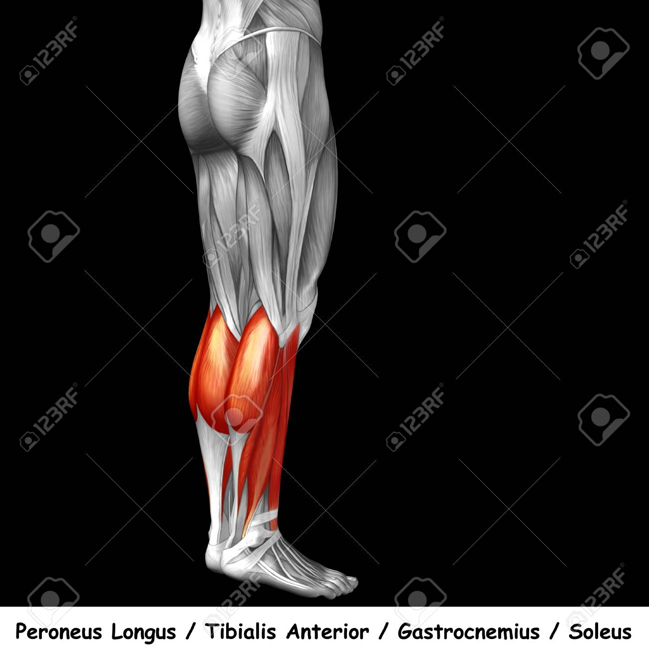 Conceptual 3D Human Back Lower Leg Muscle Anatomy Isolated On ...