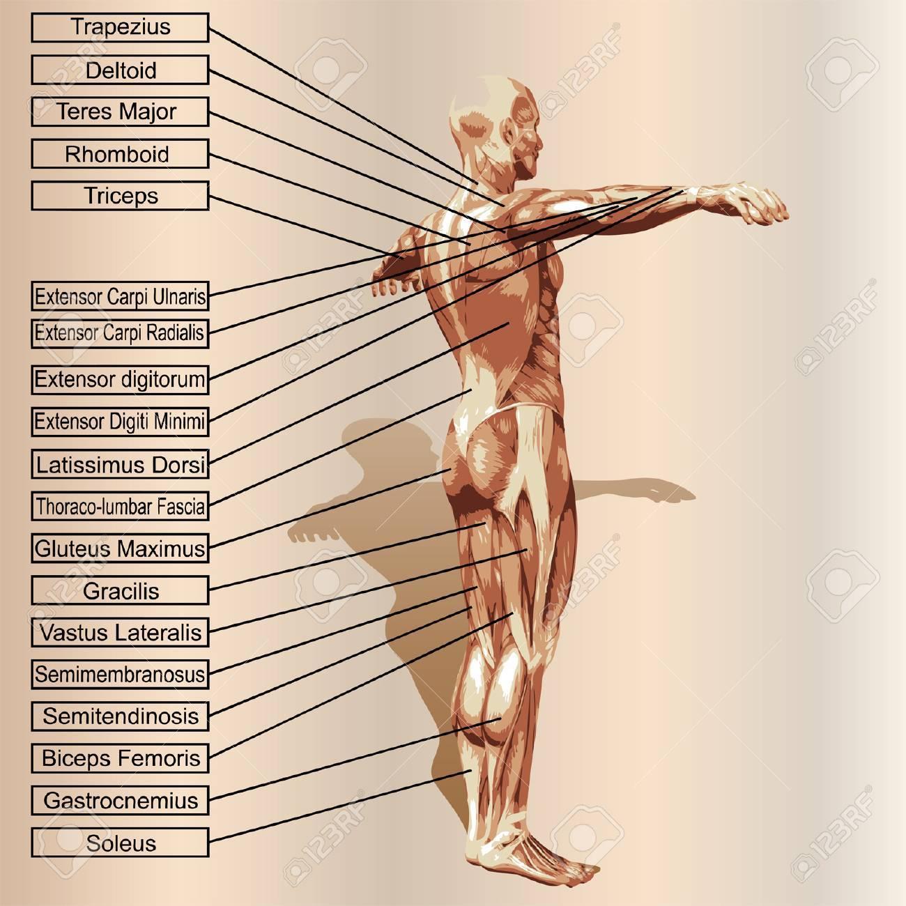 Vector 3D Menschlichen Männlichen Anatomie Mit Muskeln Und Text Auf ...