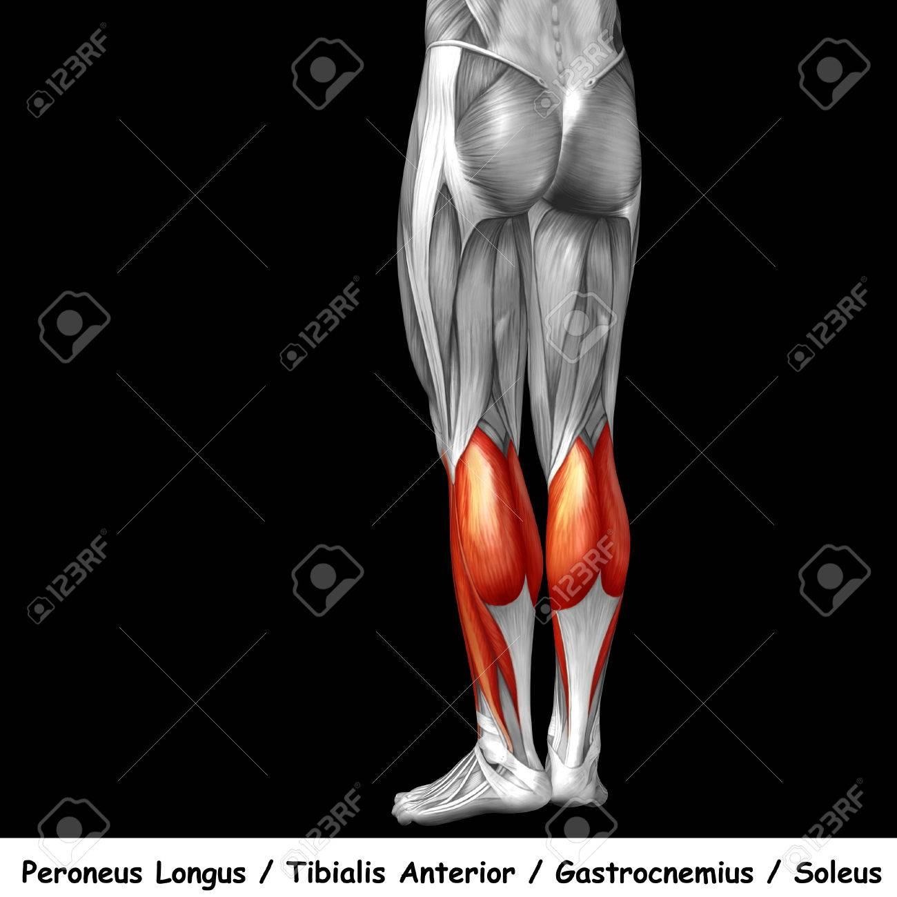 Beste Muskeln Des Unteren Rückens Zeitgenössisch - Menschliche ...