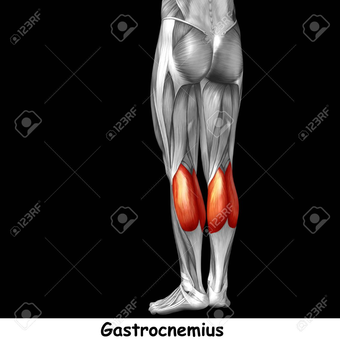 Conceptual Humano 3D Parte Inferior De La Pierna Muscular Anatomía ...
