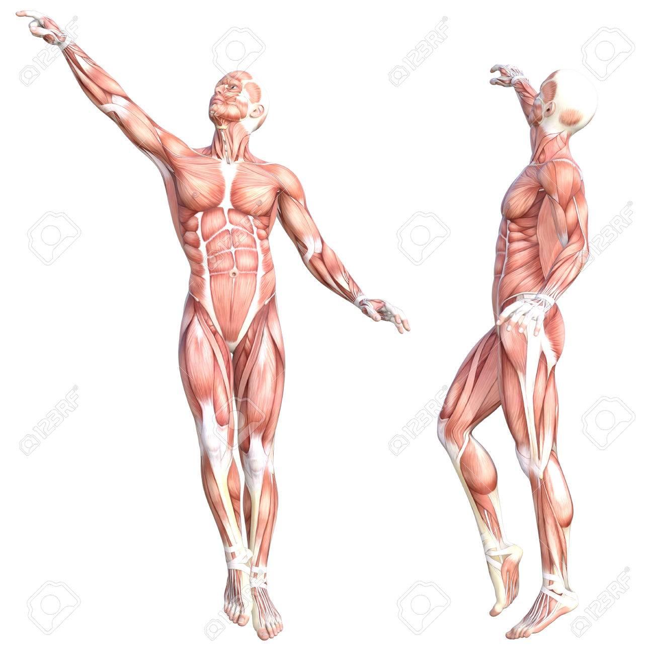 Atemberaubend Zeichnung Von Muskelsystem Zeitgenössisch ...