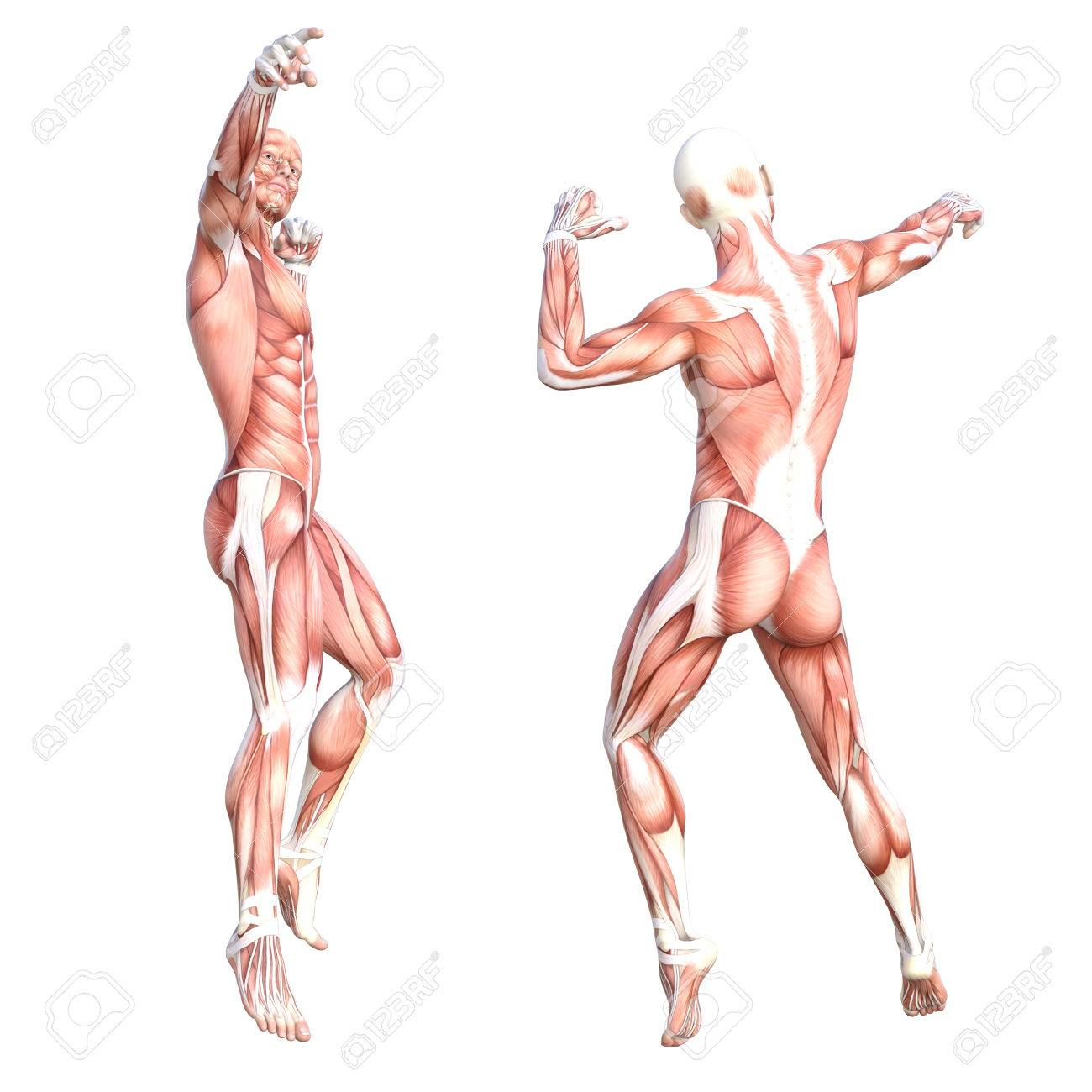 Conceptual Anatomy Healthy Skinless Human Body Muscle System Stock