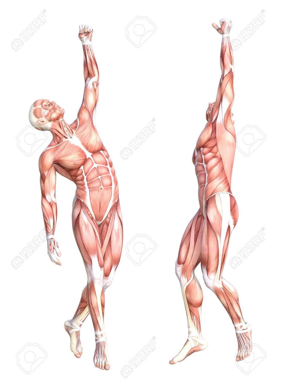 Berühmt Muskelsystem Bilder Beschriftet Galerie - Menschliche ...