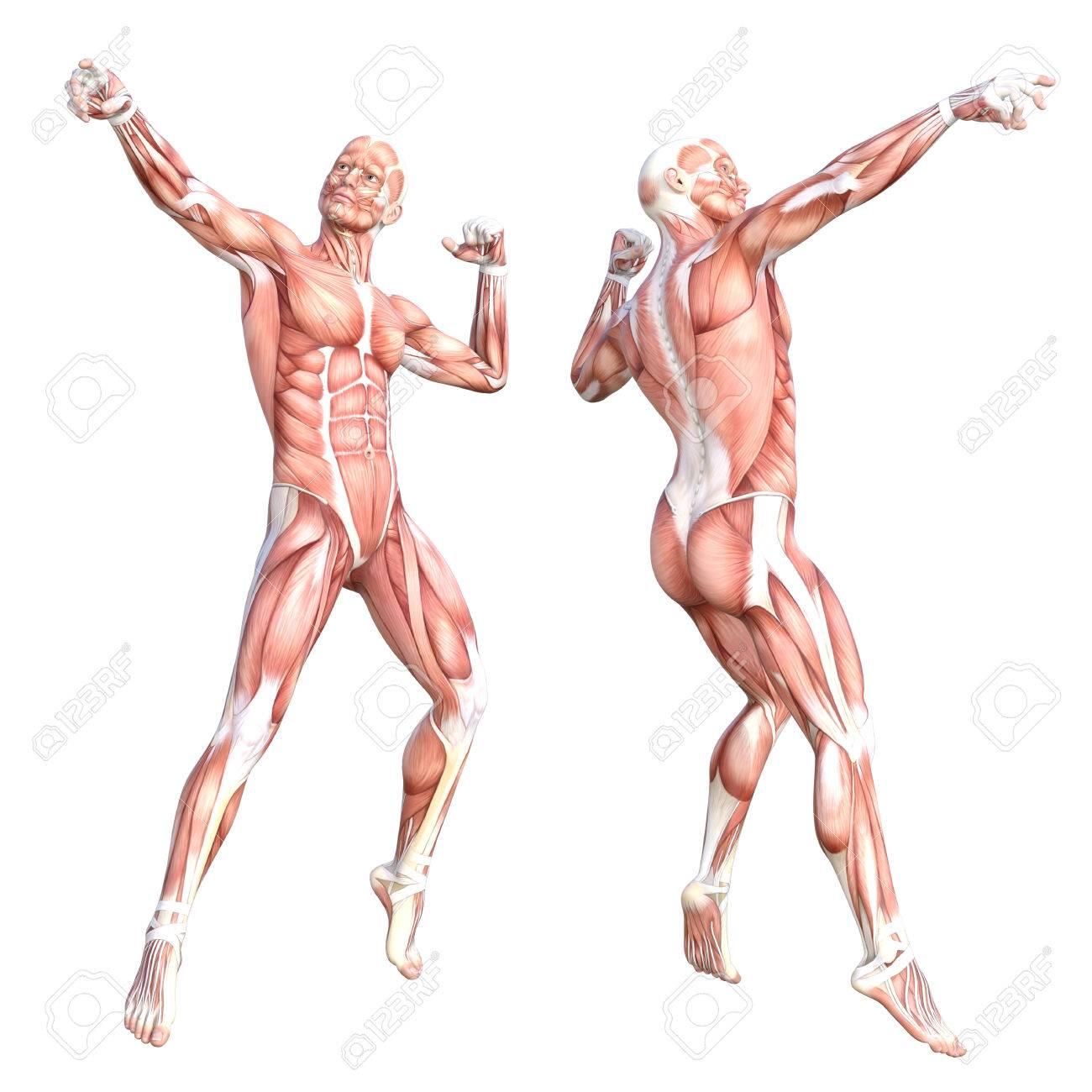 Conceptual Anatomía Saludable Sin Piel Sistema De Sistema Muscular ...