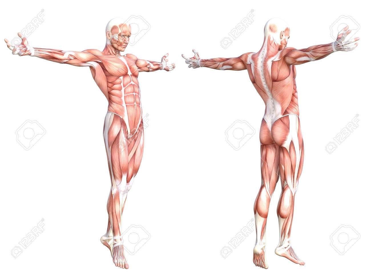 Berühmt Teile Muskelsystem Galerie - Menschliche Anatomie Bilder ...