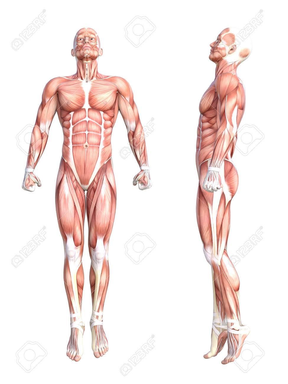 Großartig Anatomie Des Blutgefäßes Ausübt 32 Bilder - Menschliche ...