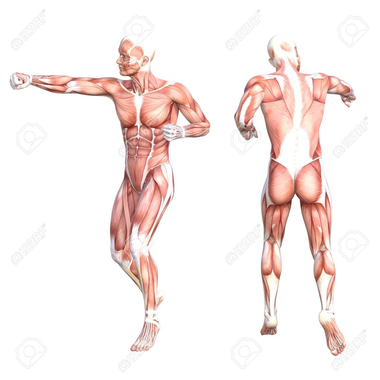 Nett Interaktives Muskelsystem Zeitgenössisch - Menschliche Anatomie ...