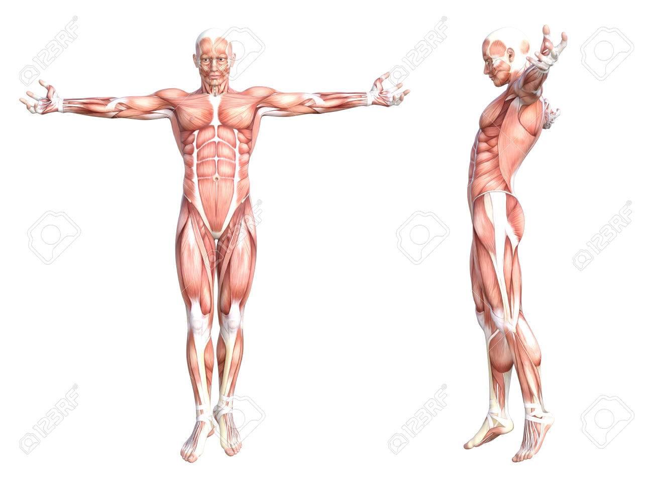 Ausgezeichnet Menschliche Muskelsystem Diagramm Beschriftet Galerie ...