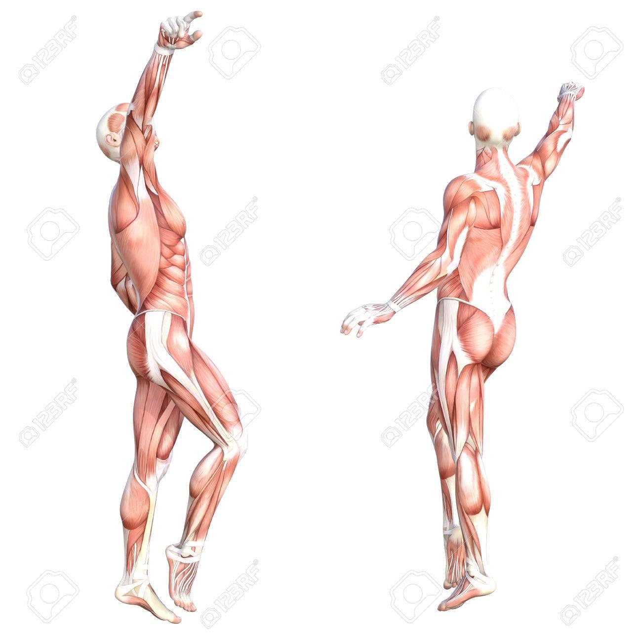 Niedlich Muskelsystem Anatomie Galerie - Menschliche Anatomie Bilder ...