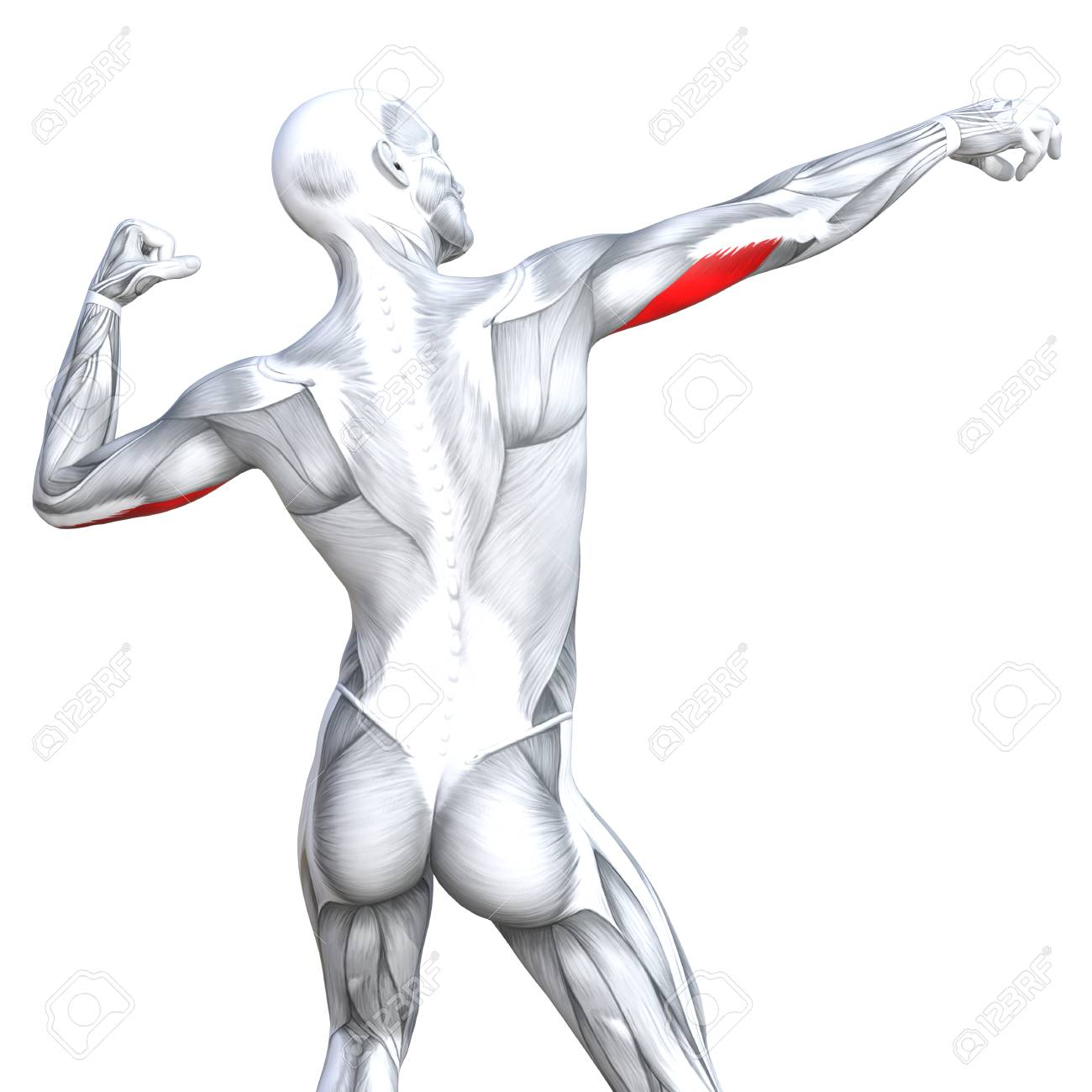 Tríceps Ilustración Conceptual 3d Ajuste Fuerte Anatomía Humana ...
