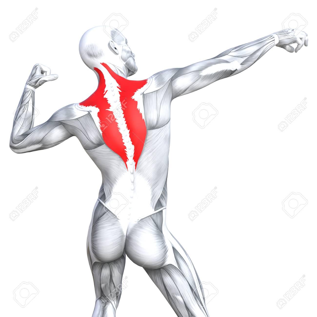 Ilustración Conceptual 3D Volver Ajuste Fuerte Anatomía Humana O ...