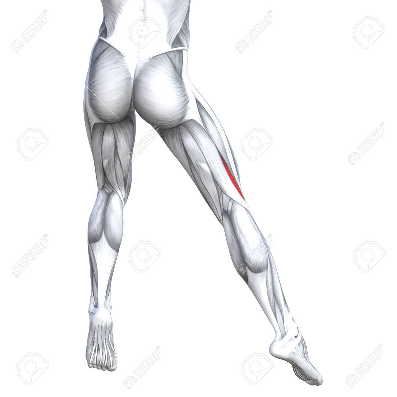 Fantástico Anatomía Músculos Superiores De La Espalda Festooning ...