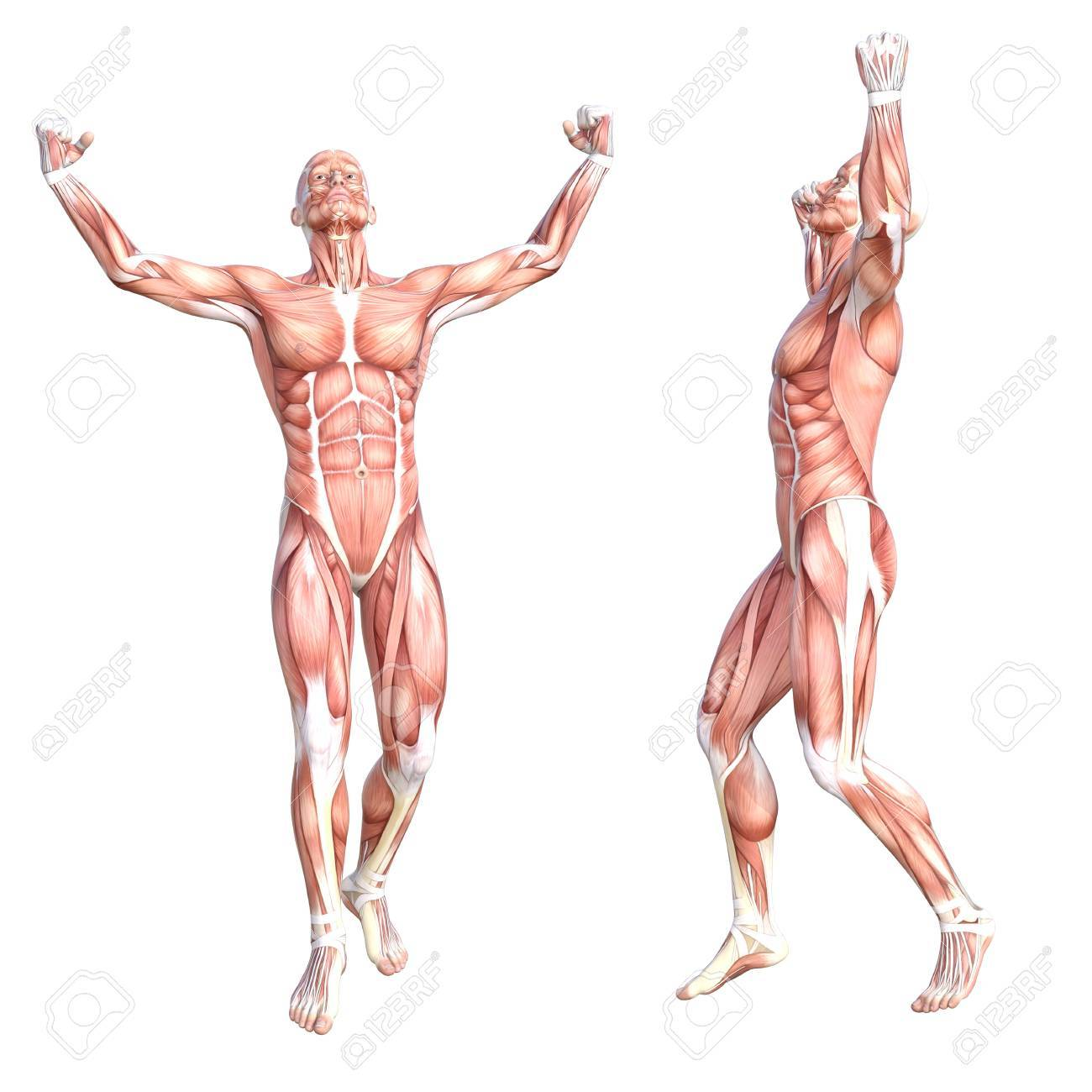 Erfreut Bilder Von Muskelsystem Fotos - Menschliche Anatomie Bilder ...