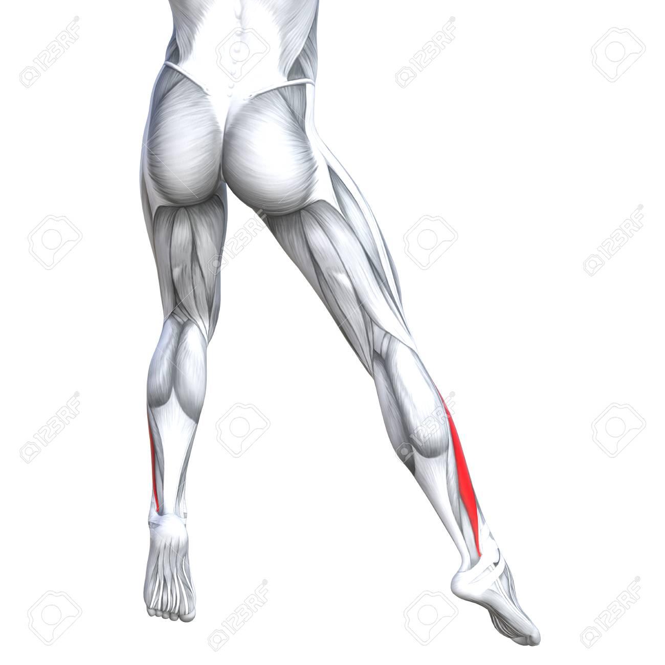Concepto Ilustración Conceptual 3D Ajuste Fuerte Espalda Anatomía ...
