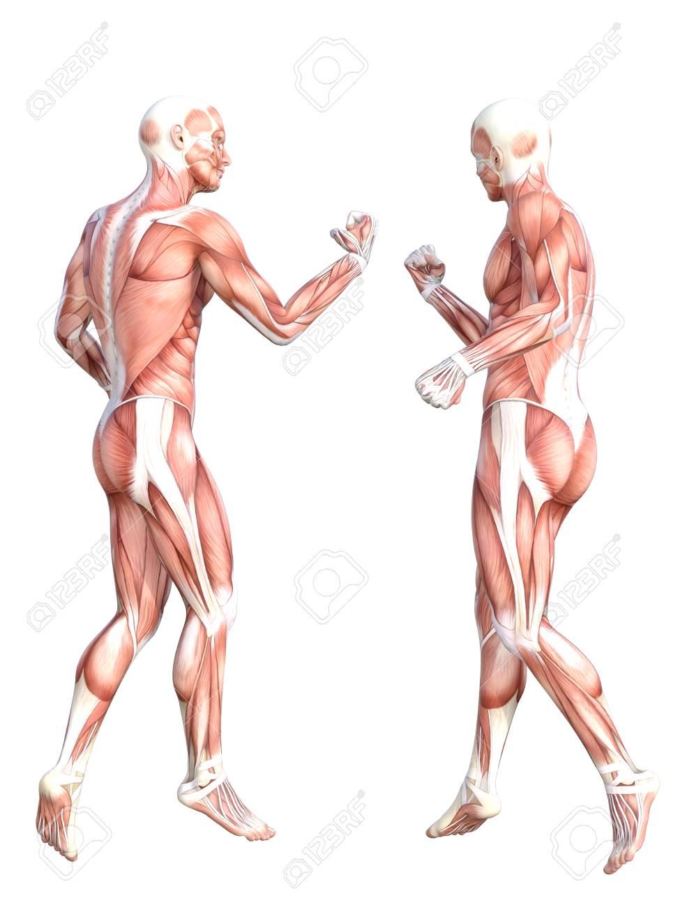 Fantastisch Muskelsystem Bilder Zeitgenössisch - Menschliche ...