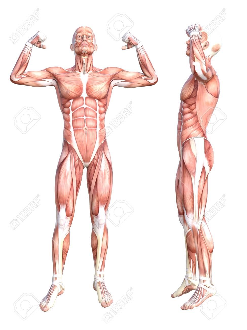 Wunderbar Muskelsystem Zusammenfassung Galerie - Menschliche ...