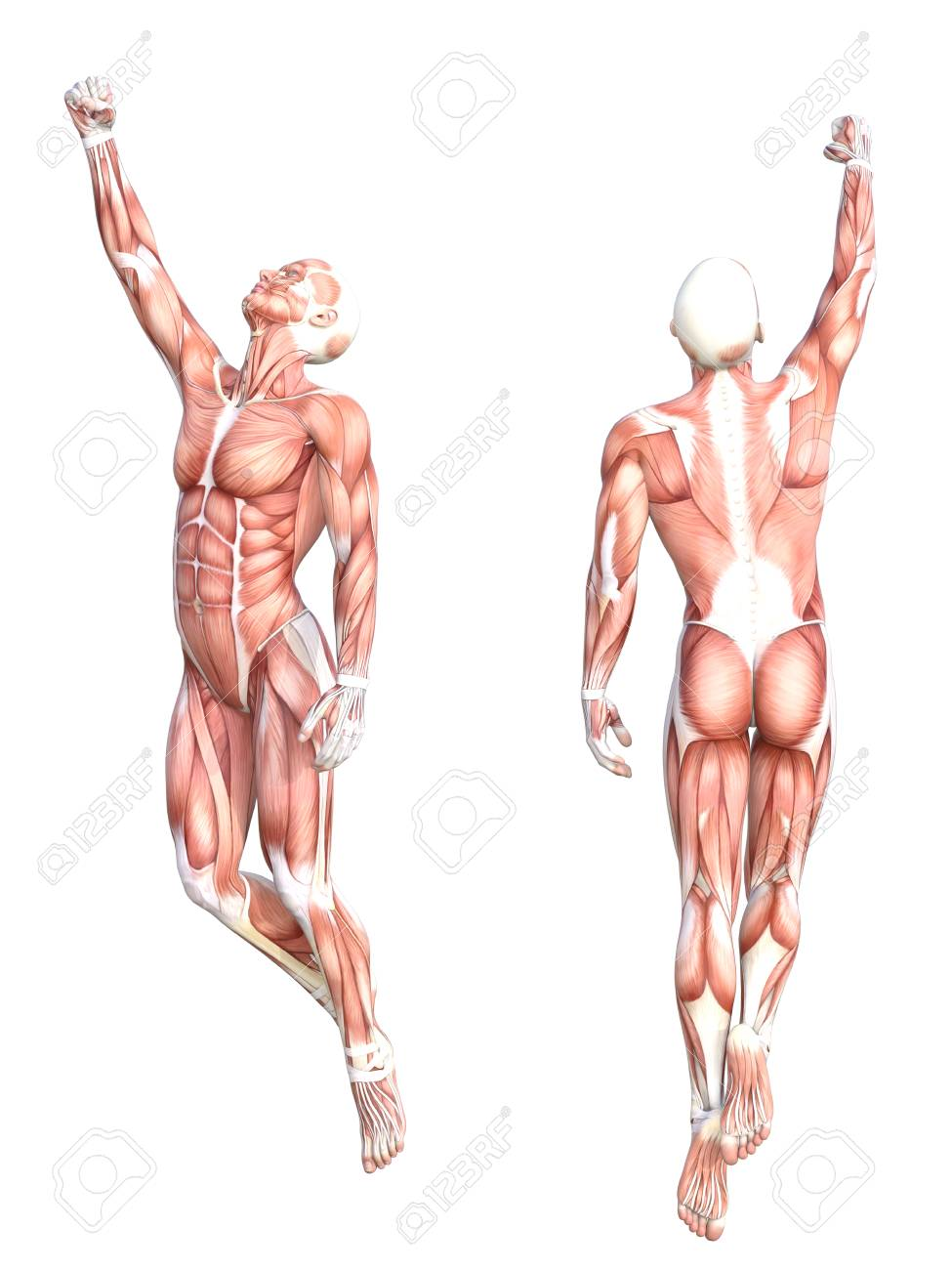 Conceptual anatomy healthy skinless human body muscle system set. Athletic young adult man posing for education, fitness sport, medicine isolated on white background. Biology science 3D illustration - 86906568