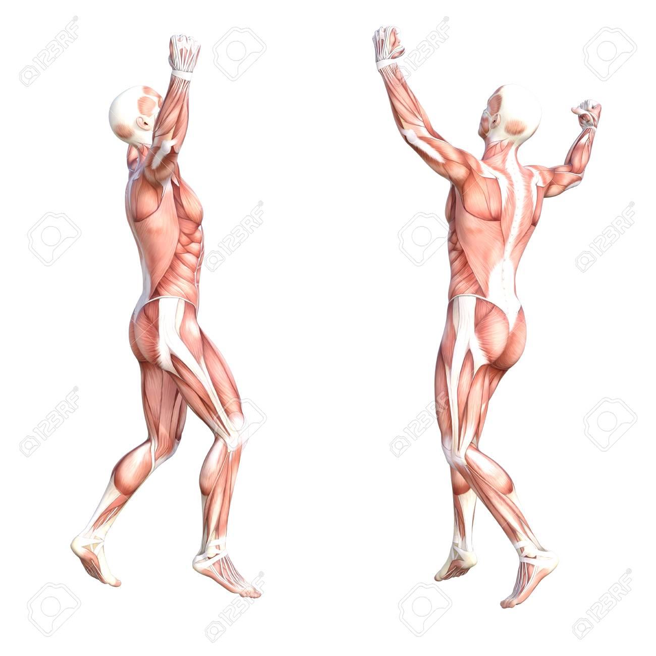 Berühmt Muskelsystem Zusammenfassung Bilder - Menschliche Anatomie ...