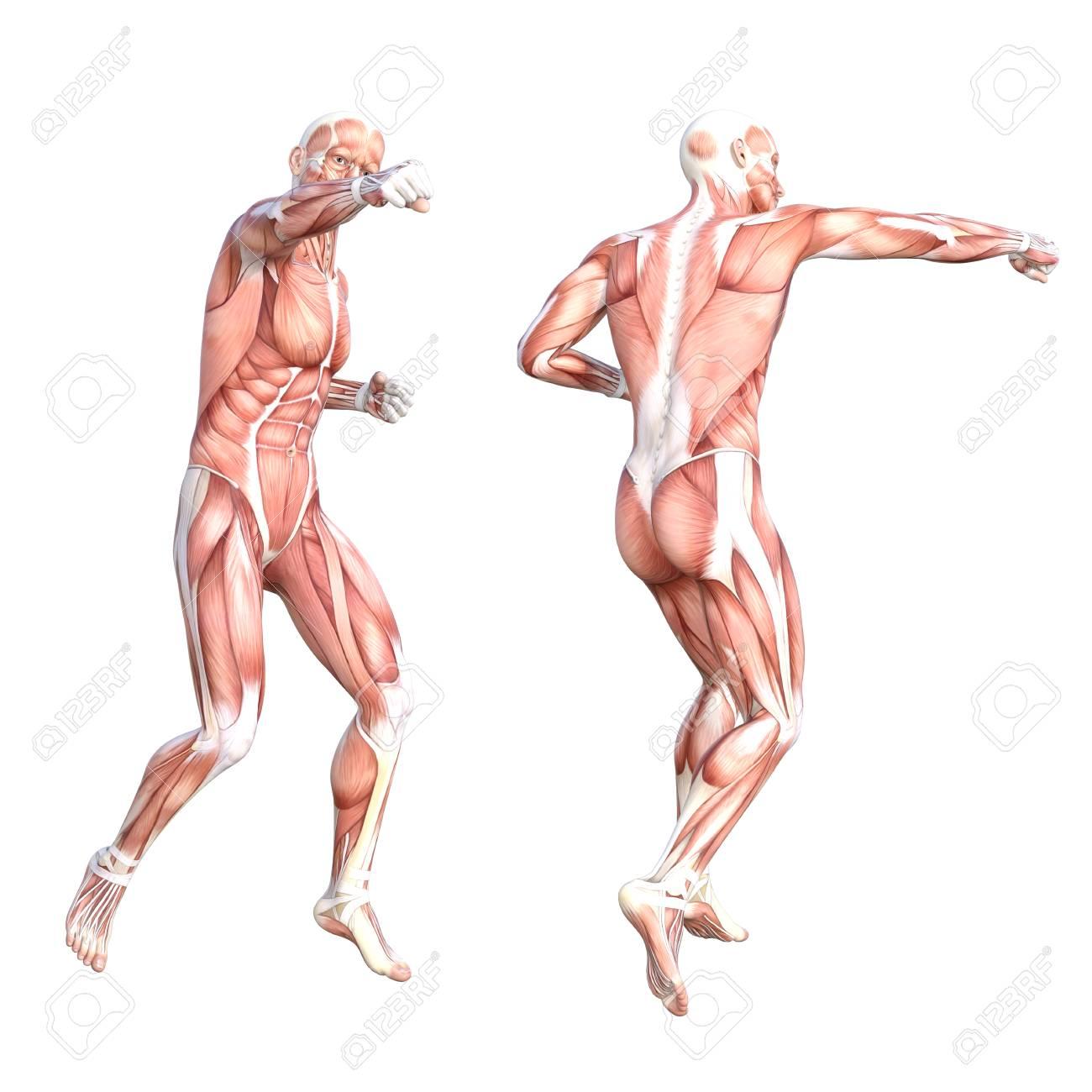 Niedlich Anatomie Muskelsystem Studienführer Bilder - Menschliche ...