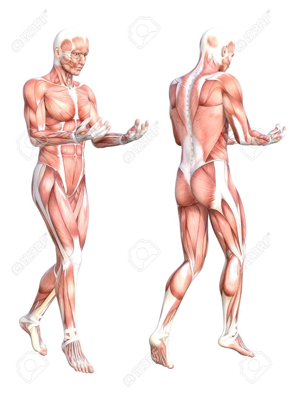 Groß Menschliche Anatomie Und Physiologie Muskelsystem Ideen ...