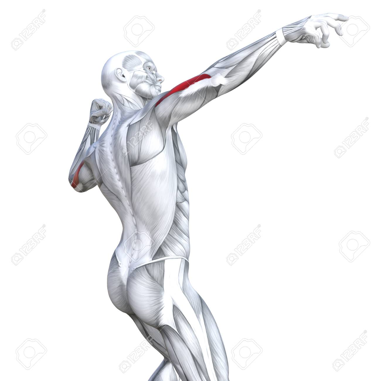 Concept Conceptual 3D Illustration Triceps Fit Strong Human Anatomy ...