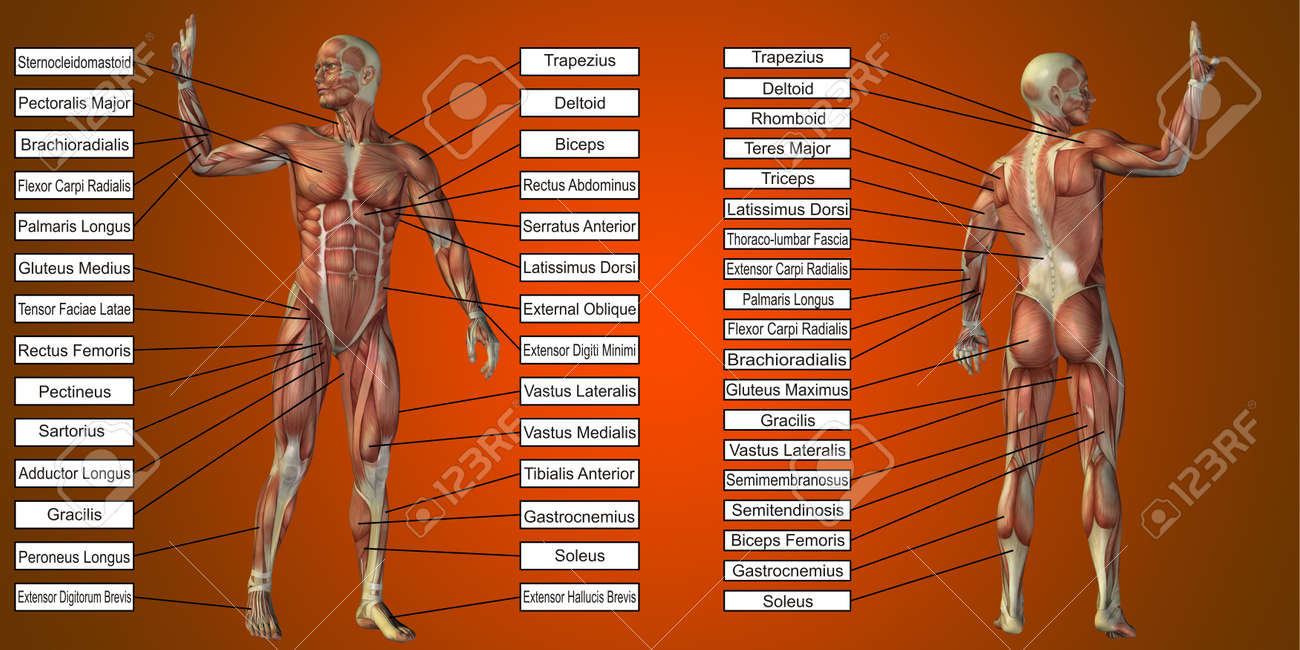 3D illustration of a concept human man anatomy and muscle textbox isolated on red background metaphor to body, tendon, spine, fit, builder, strong, biological, skinless, shape posture health medical - 161385339