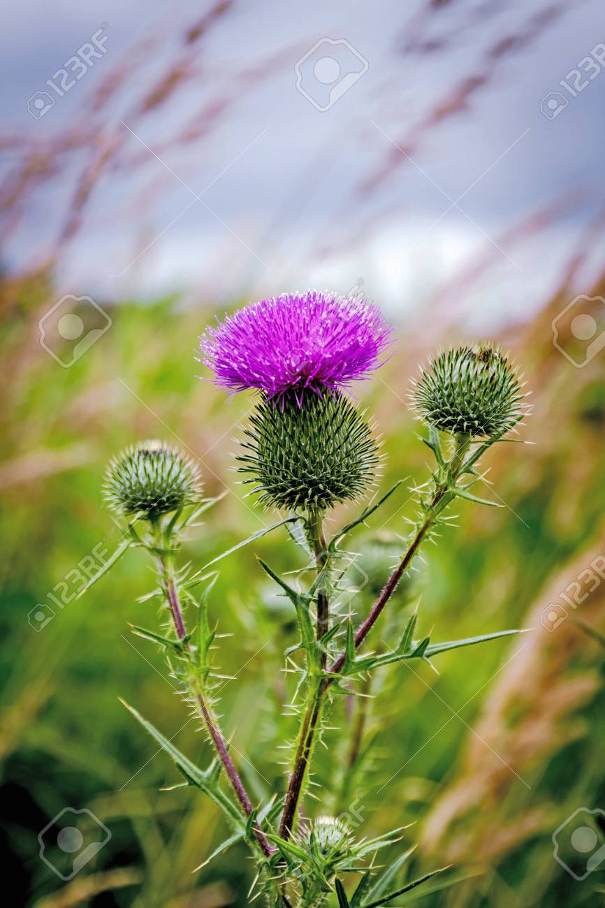 Thistle Buds And Flowers On A Summer Field Thistle Flowers Is