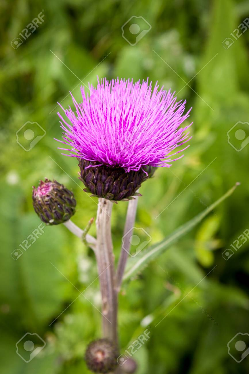 Thistle Buds And Flowers On A Summer Field Thistle Plant Is Stock