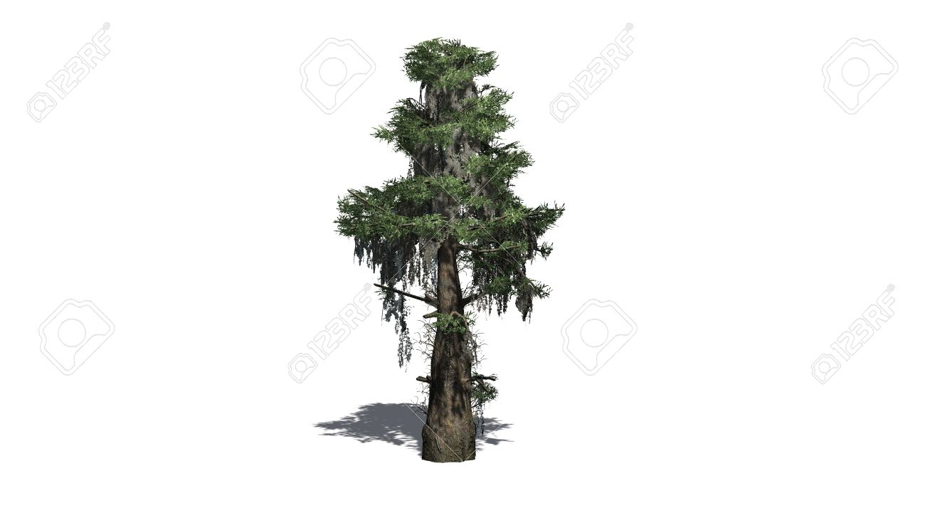 Bald Cypress Tree Separated On White Background Stock Photo Picture And Royalty Free Image Image 41636875