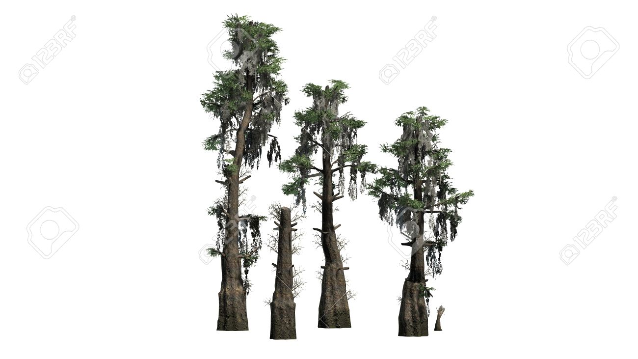 bald cypress trees separated on white background stock photo rh 123rf com cypress tree vector free Louisiana Bald Cypress Tree Drawing