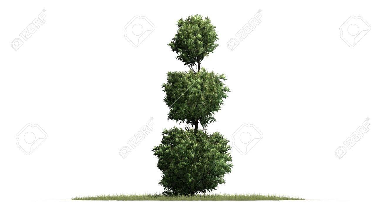 boxwood topiary isolated on white background stock photo