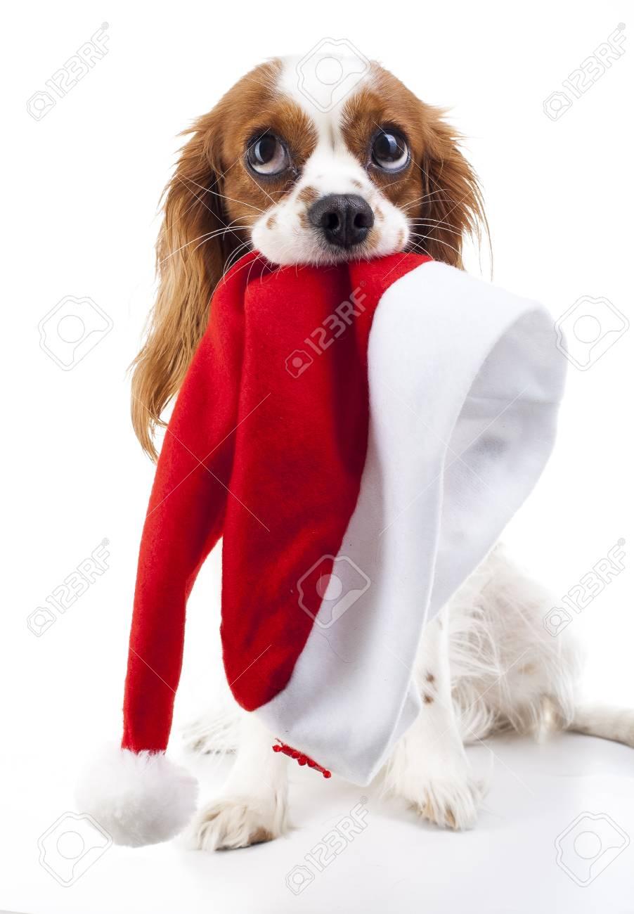 Hund Mit Nikolausmütze. Weihnachtshund Im Studio. Weißer König ...
