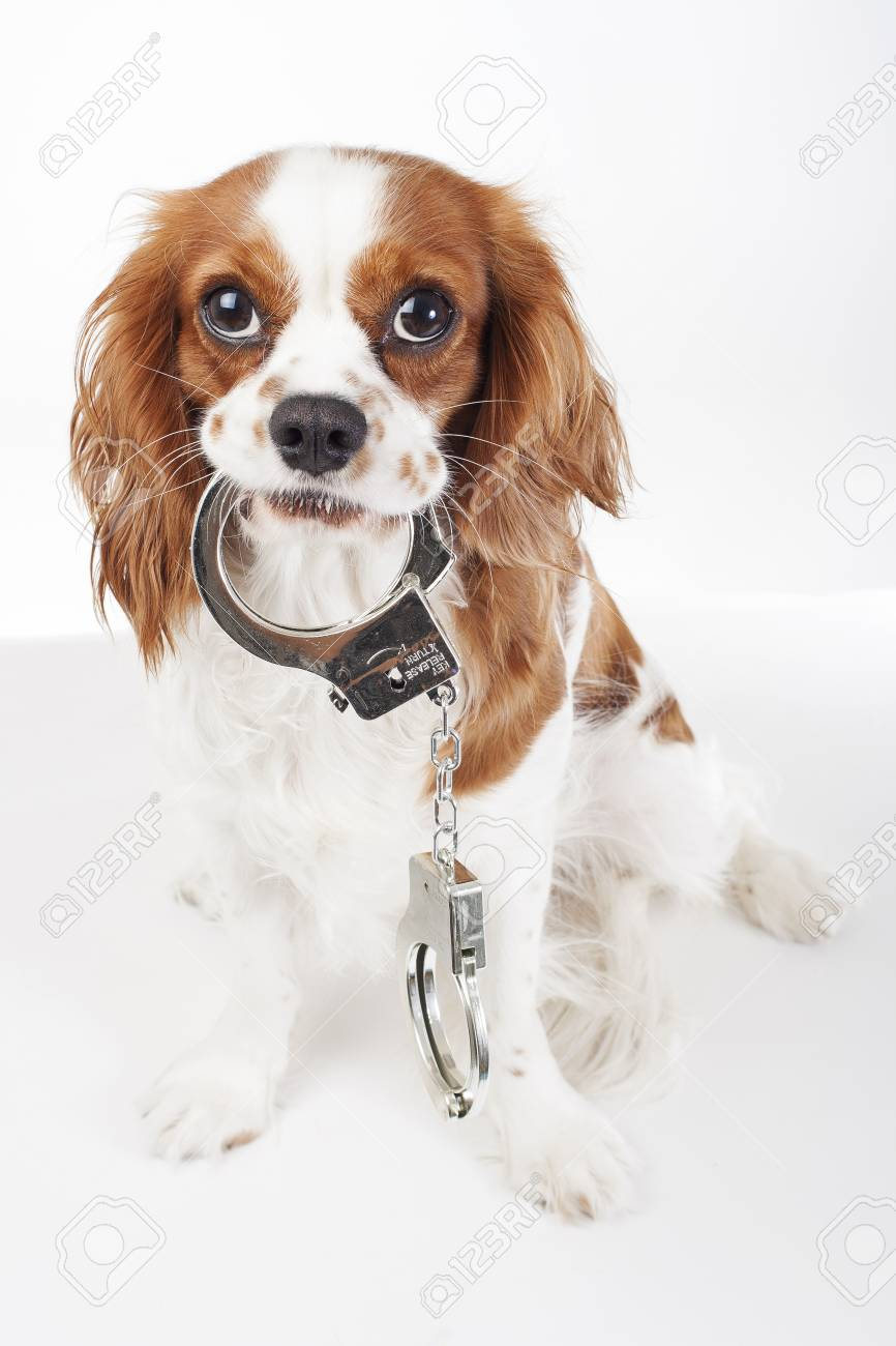 Cool King Charles Canine Adorable Dog - 90145996-dog-with-handcuffs-cavalier-king-charles-spaniel-in-studio-illustrate-crime-illustration-against-ani  You Should Have_43784  .jpg