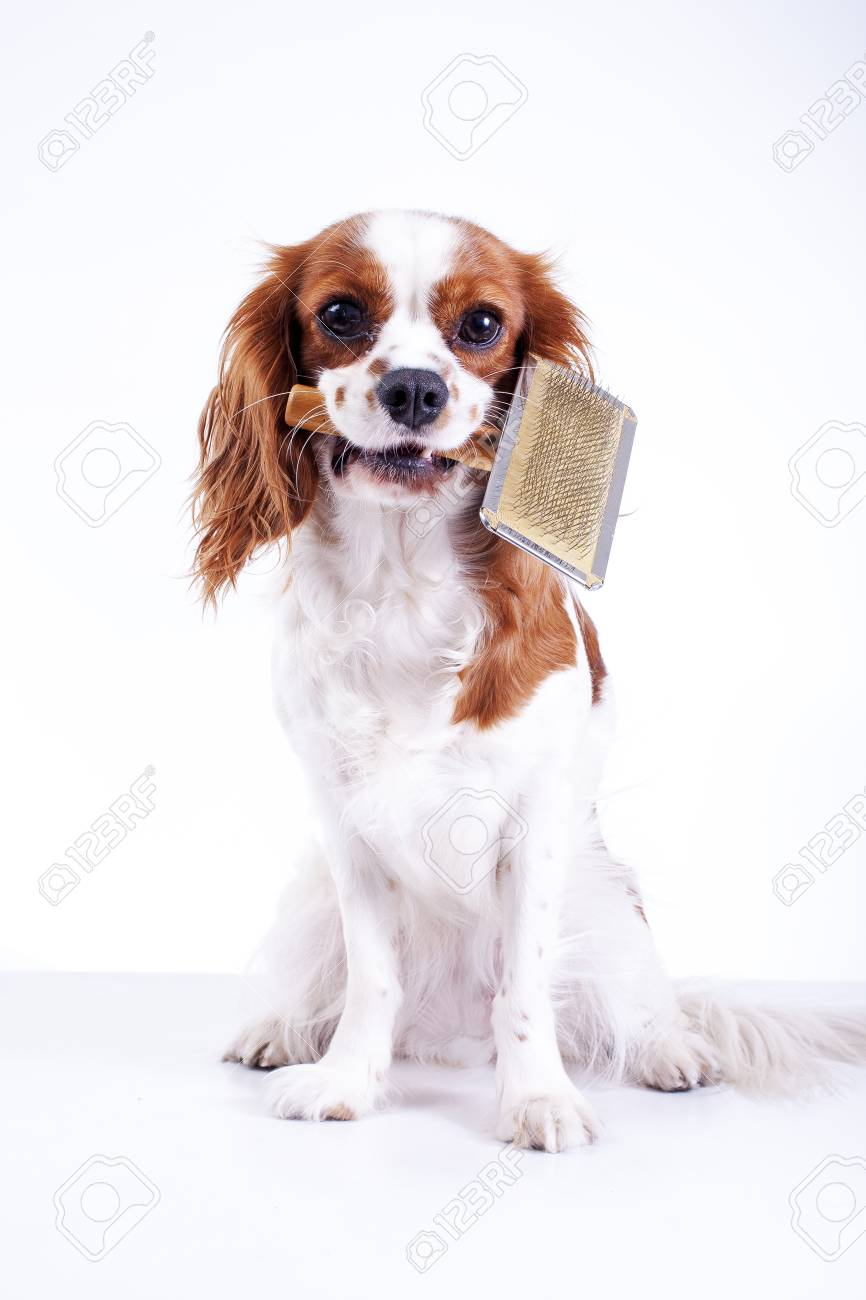 Simple Cavalier Canine Adorable Dog - 90433408-dog-with-pet-brush-fur-comb-cute-cavalier-king-charles-spaniel-dog-puppy-on-isolated-white-backgroun  Pictures_568060  .jpg