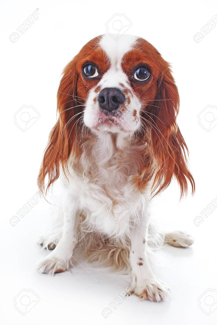 Cute Cavalier King Charles Spaniel Puppy Dog On Isolated White Stock Photo Picture And Royalty Free Image Image 90433481